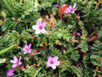 Erodium a feuilles de cigue